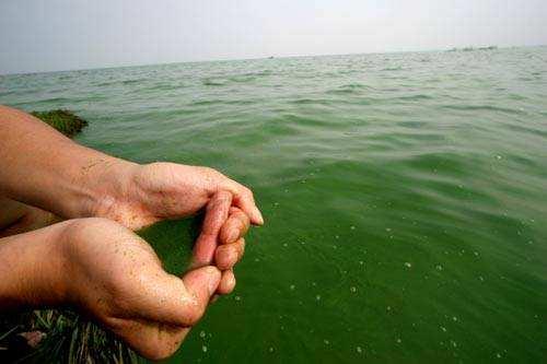南美对虾养殖 藻类危害蓝藻是最大的杀手