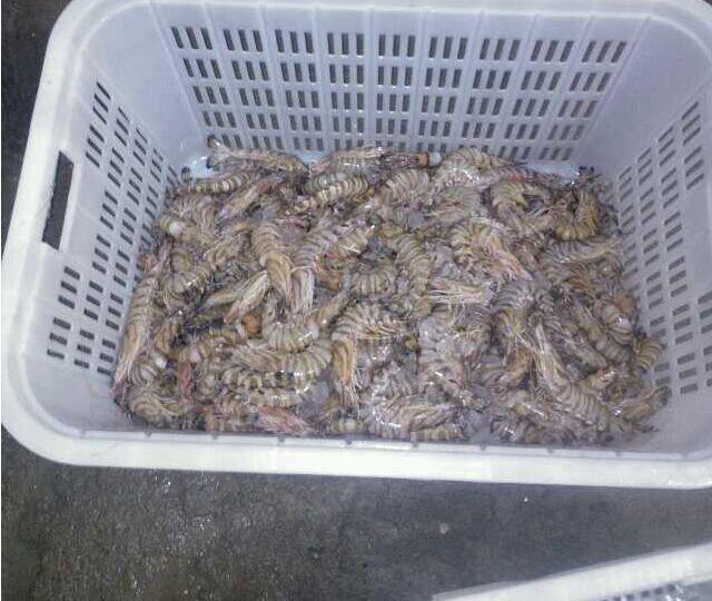 专业养殖基围虾、对虾、竹节虾、海洋斑节虾,成品虾出售欢迎咨询