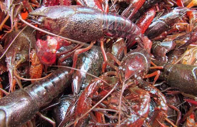 大量野生小龙虾上市,水产市场批发假红龙虾