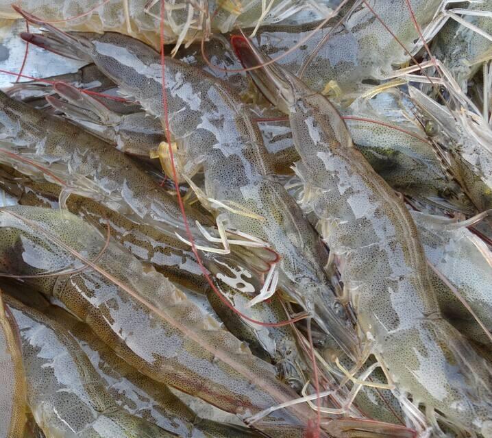 批发南美虾、对虾、成品虾,多种海产品