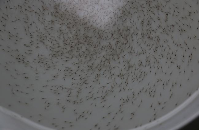 对虾放苗后虾塘枝角类大量繁殖该如何处理?